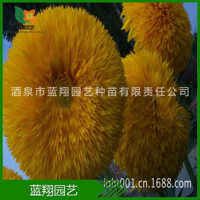 花卉种子 向日葵 重瓣向日葵种子 厂家直销 种子批发