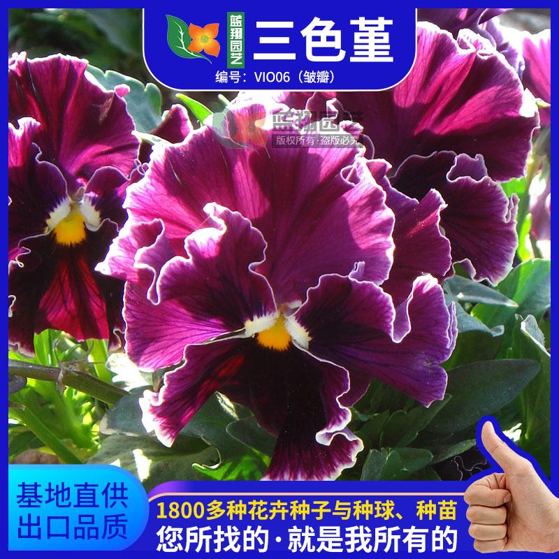植物种子三色堇种子皱瓣家庭园艺观赏花卉种子庭院花种子阳台盆栽
