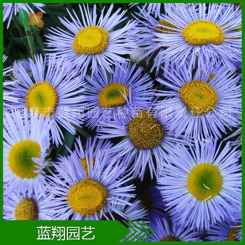 家庭园艺 美丽飞蓬 花卉种子 景观绿化种子 美丽飞蓬种子 花种子
