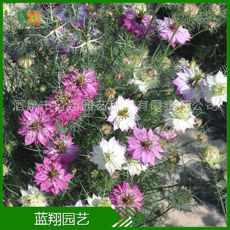 花卉种子 黑种草  家庭园艺 盆栽 种子批发 厂家直销 特价